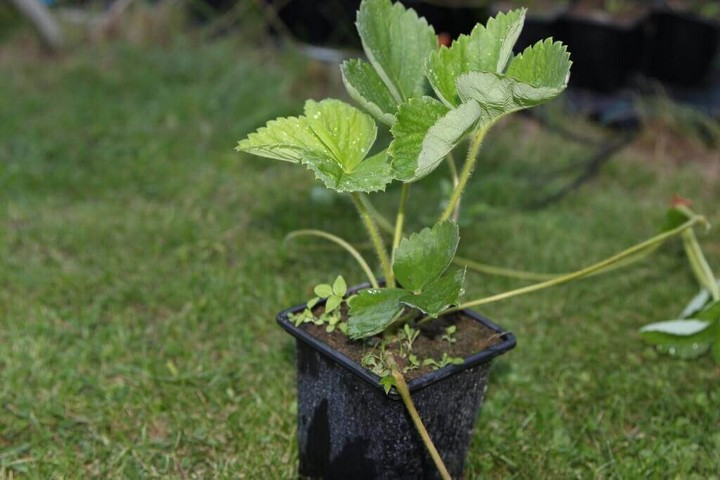 Выращивание рассады клубники и высадка в грунт
