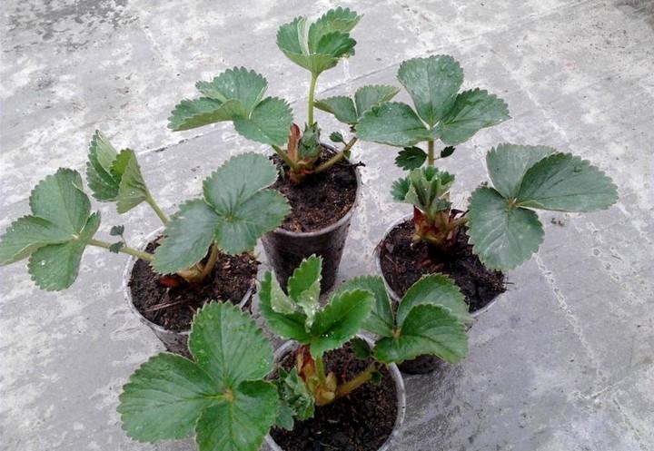горшочки с рассадой клубники
