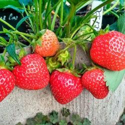 фотоРассада клубники: подбор семян, выращивание, уход, высадка