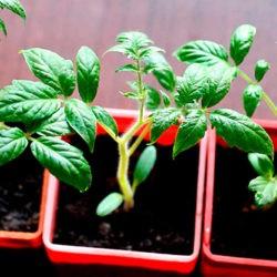 фото Как правильно выращивать рассаду томатов?