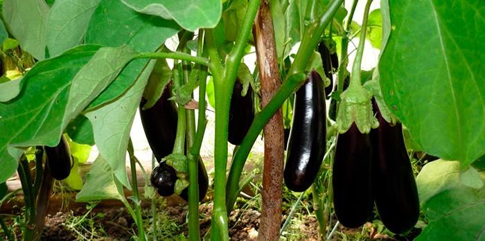 Баклажаны в огороде фото