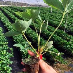 фотоКак вырастить рассаду земляники из семян в домашних условиях