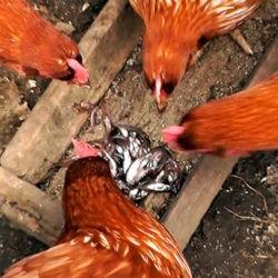 фотоРыба в рационе взрослых бройлеров и цыплят