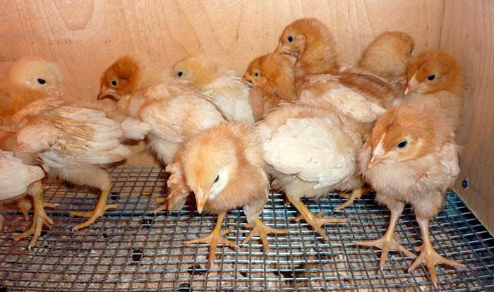 Цыплята Родонит