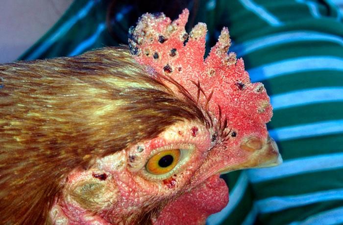Клещ у курицы
