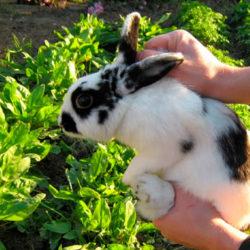 фото Подробная инструкция по забиванию и разделке кроликов
