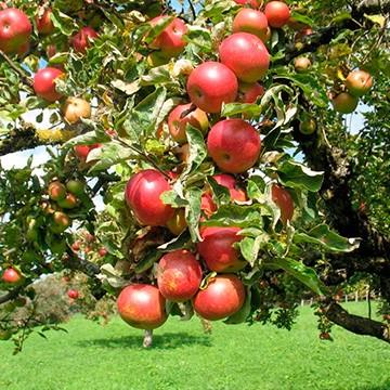 Фото Крупная яблоня