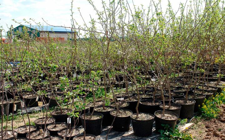 рекомендации по выращиванию саженцев яблони