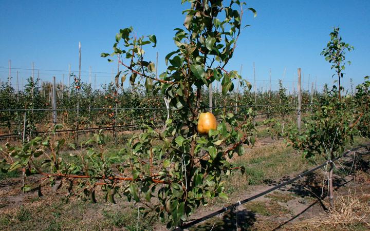 отличие саженцев груш от яблонь