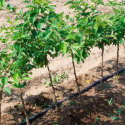 фото Способы размножения яблони на своем участке