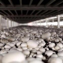 фото Технология выращивания шампиньонов в теплице
