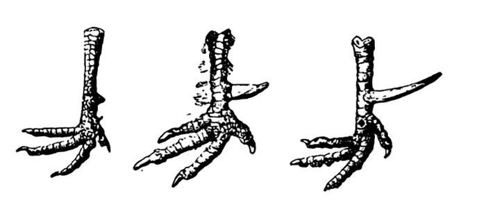 Размеры шпоры у петуха