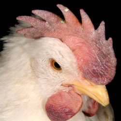 Почему гребень у кур изменил цвет и что с этим делать?