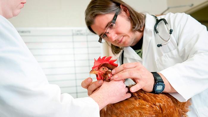 Ветеринар осматривает петуха фото