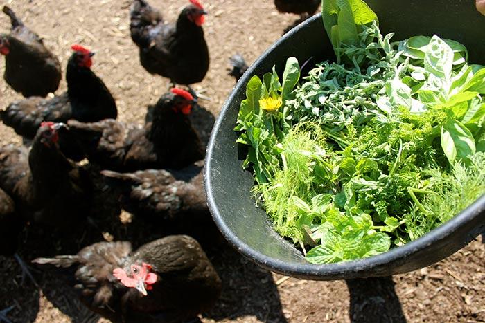Кормят кур зеленым кормом