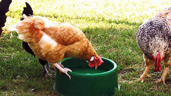 Курица пьет воду