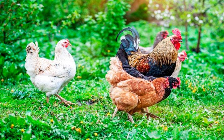 описание куриц триколор