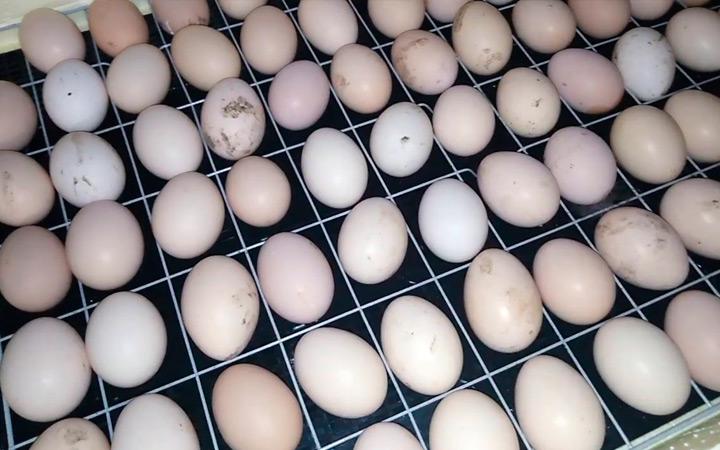 инкубация яиц индюшки