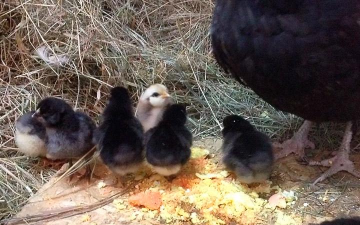 цыплята куриц ушанка