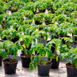 фото Китайский способ выращивания рассады