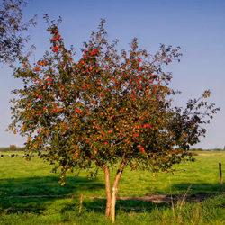 фото Когда и как правильно сажать яблони на участке?