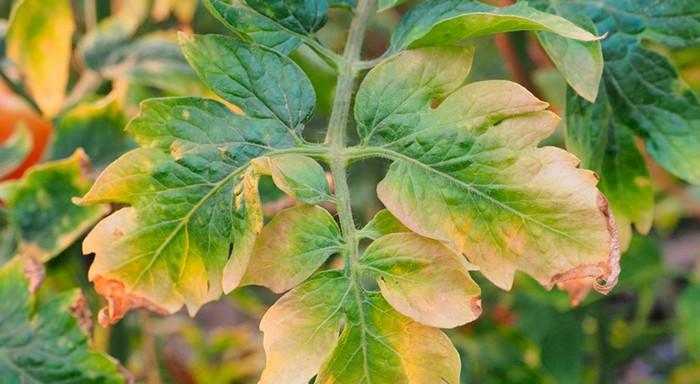 Лист помидора фото