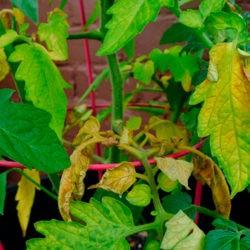 фотоПочему желтеют листья рассады