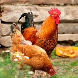 фото Продолжительность жизни петуха и кур