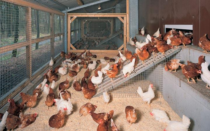 содержание домашних кур и петухов